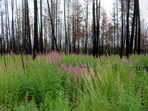 UBCO researchers concerned about important prey and predator species in post-fire logging areas